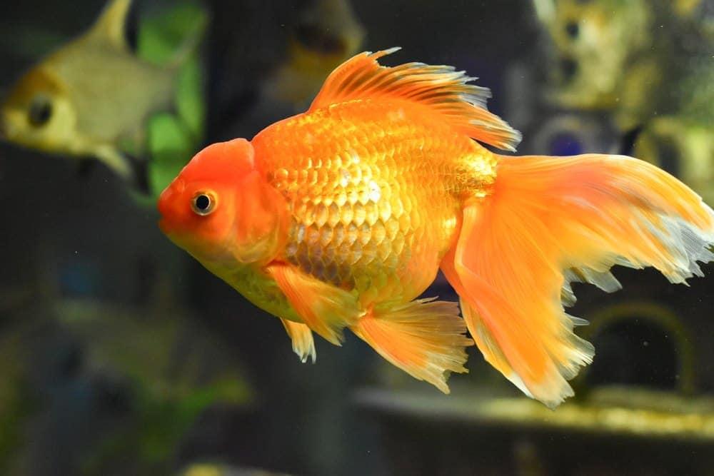 Veiltail-goldfish.jpg